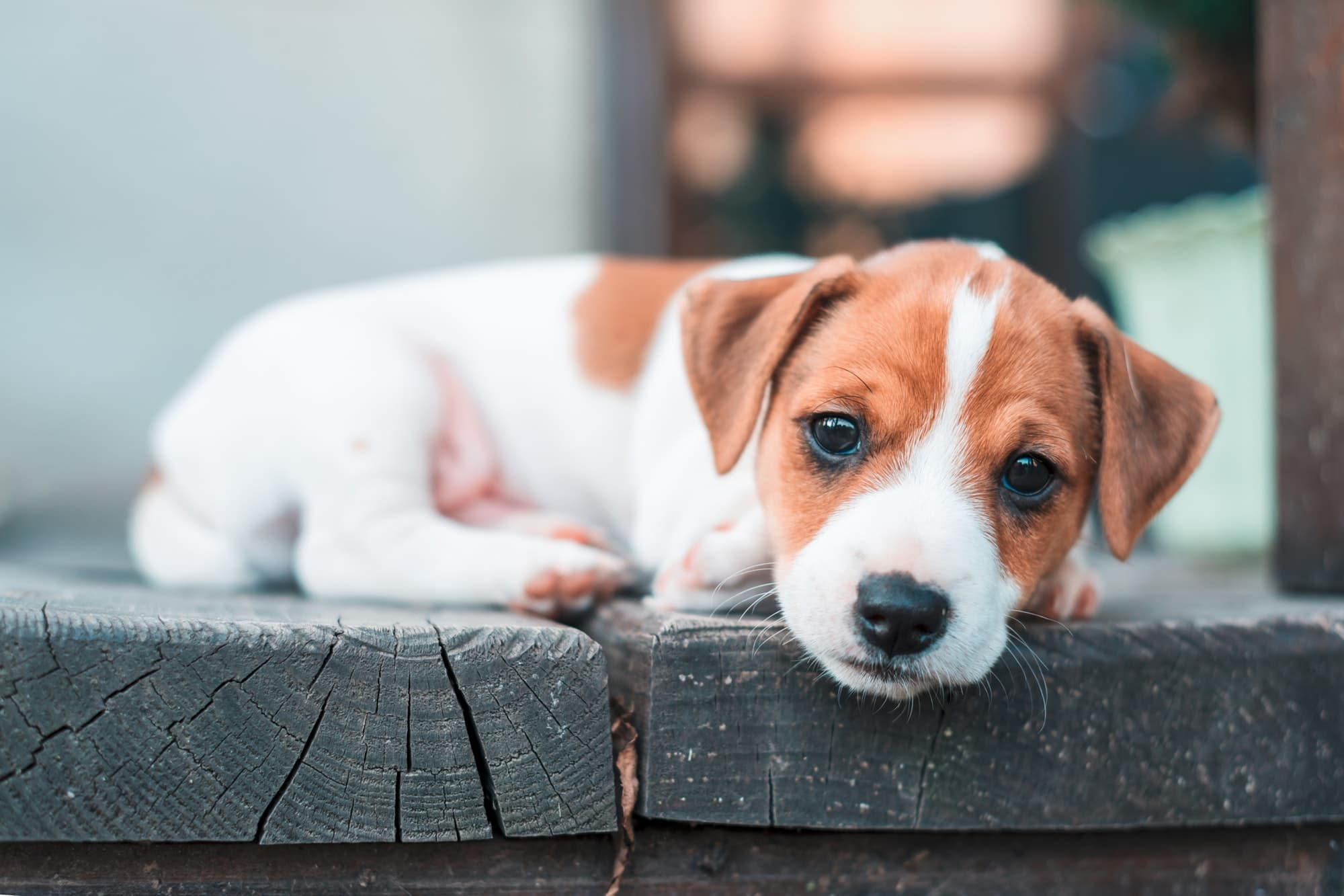 Questions A Se Poser Avant D Acheter Un Chiot Jack Russell Terrier