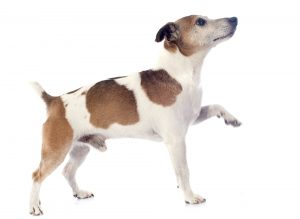Corps du Jack Russell