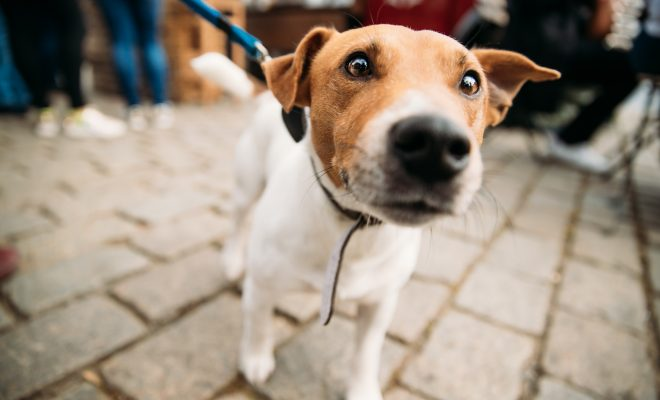 Jack russel anxieux