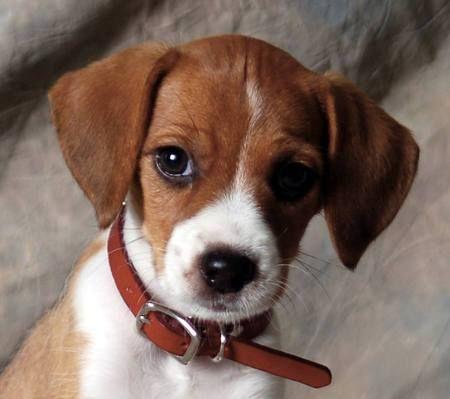 Jackrussell-beagle