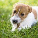 Un Jack Russell qui mange de l'herbe