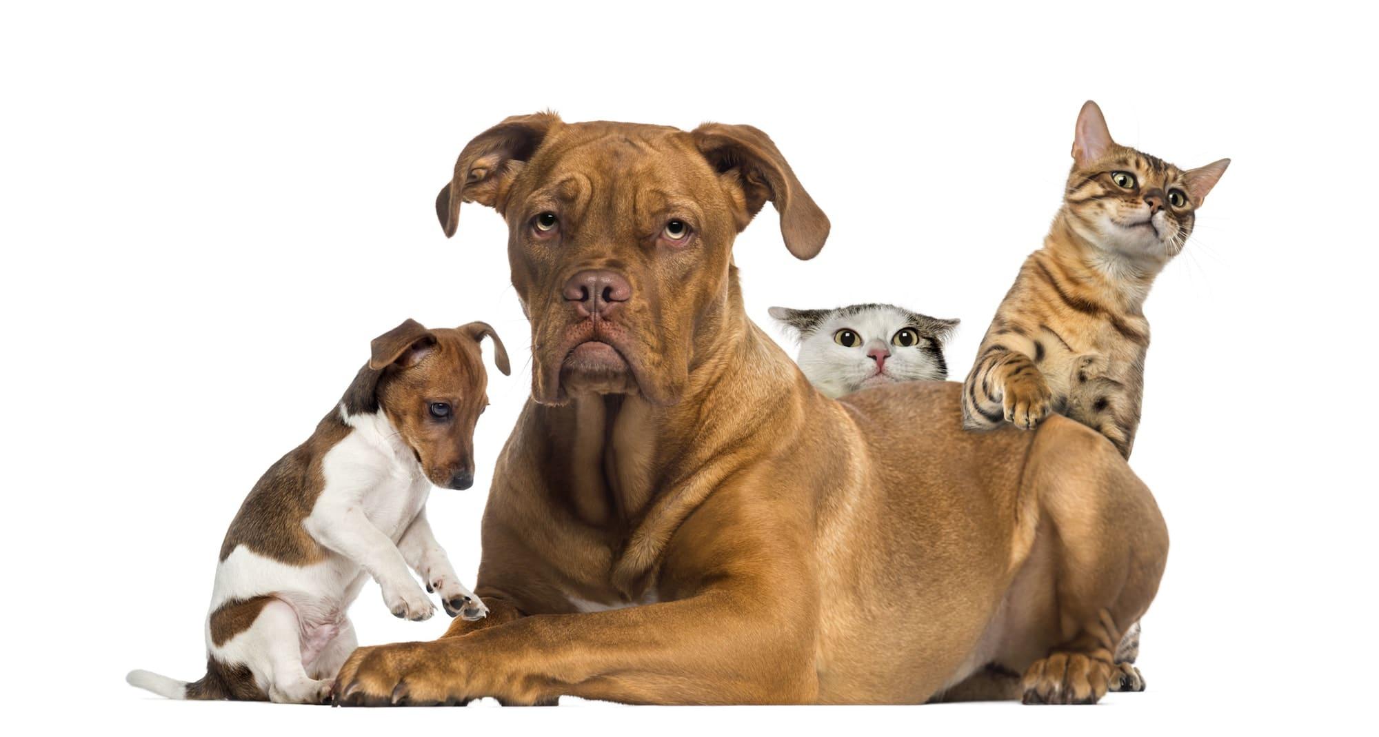 Le Jack Russell et les autres animaux dans la maison