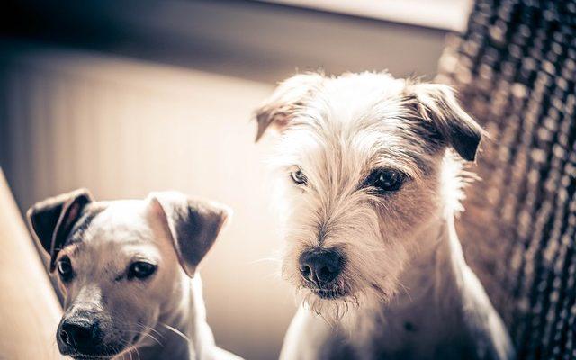 chiens lesrecherchesdestanlykoren baissent