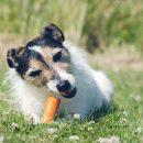 Alimentation équilibrée pour un chien