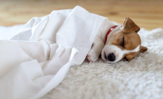 Pourquoi les chiens dorment-ils beaucoup ?
