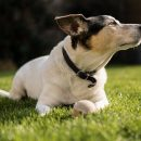 jack russell chiens