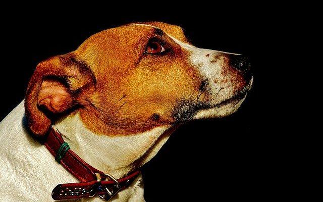 maladie chiens homme