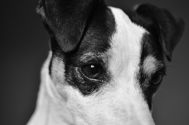 russell terrier chiens