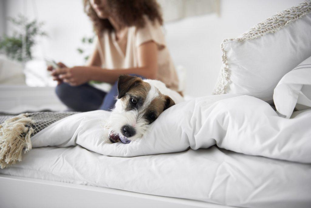 Grossesse nerveuse chez le chien