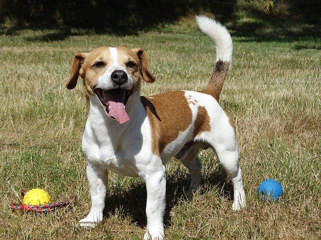 terriers terrier chiens